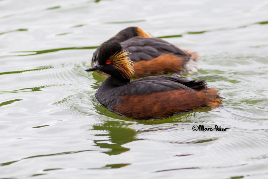 Black-necked / Eared Grebe topview