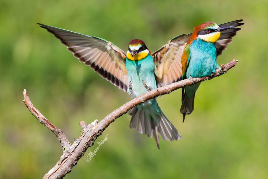 most common bird: European Bee-eater