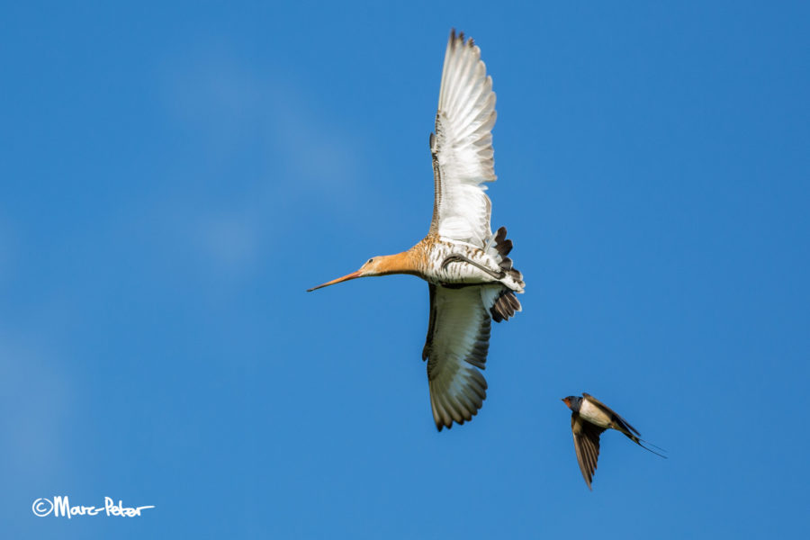 Black-tailed Godwit and Barn Swallow