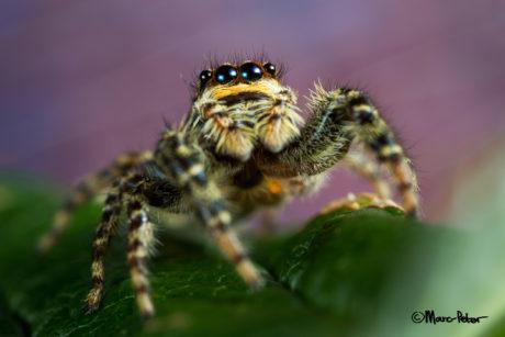 Marpissa Muscosa jumping spider