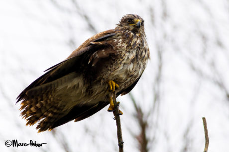 Big Bad Female Buzzard