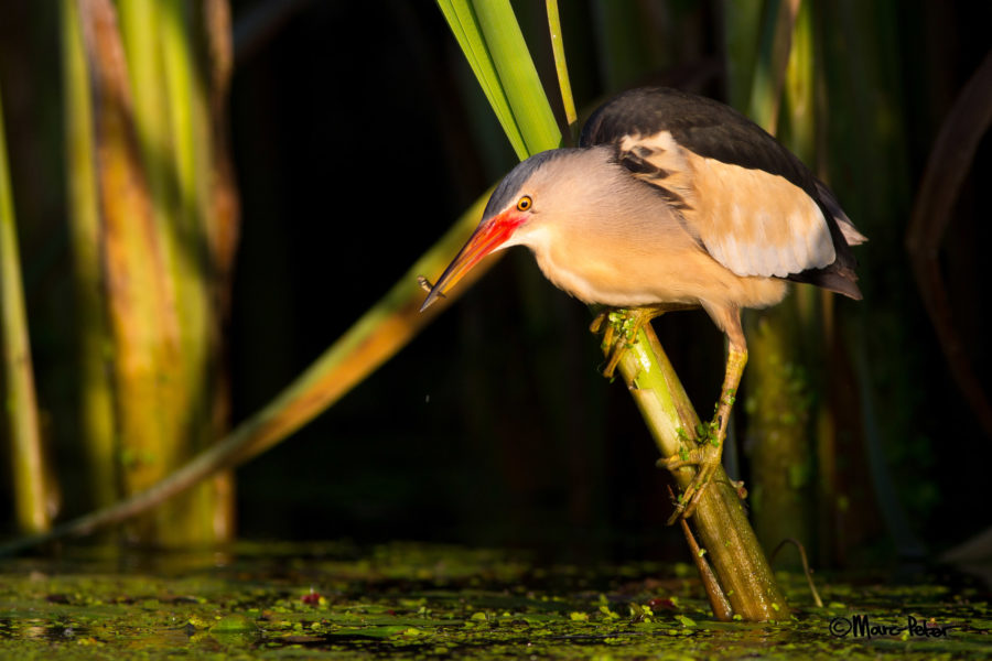 #1 - Little Bittern