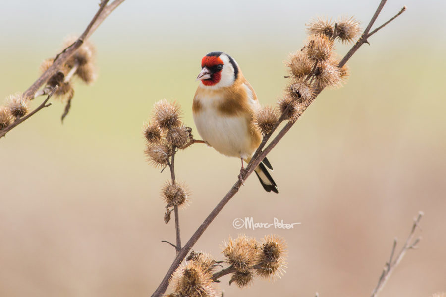 #9 - European Goldfinch