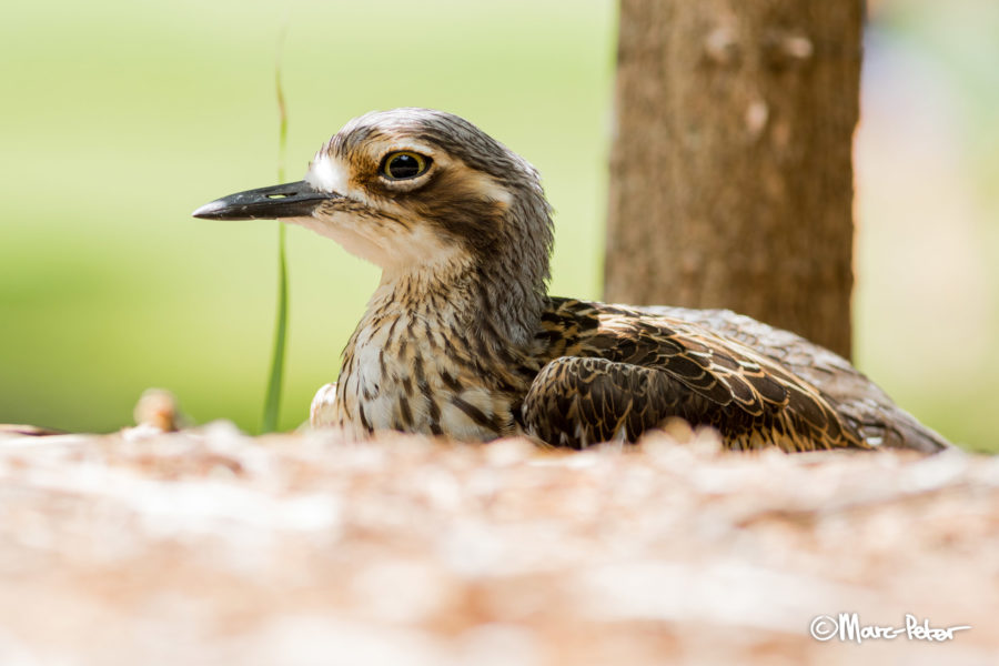 Bush Stone-Curlew in the shade
