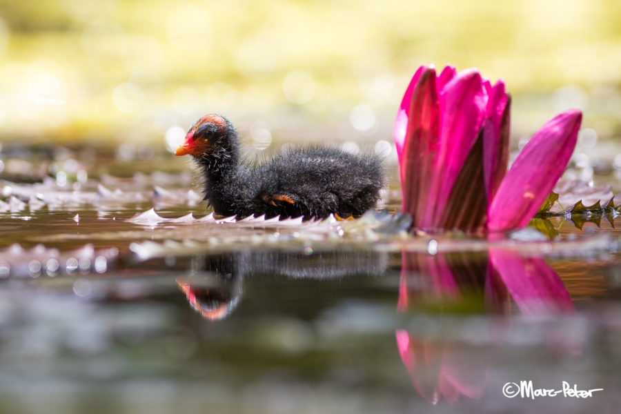 Dusky Moorhen chick with bright Lilly