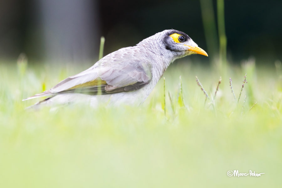 Noisy Miner on investigation