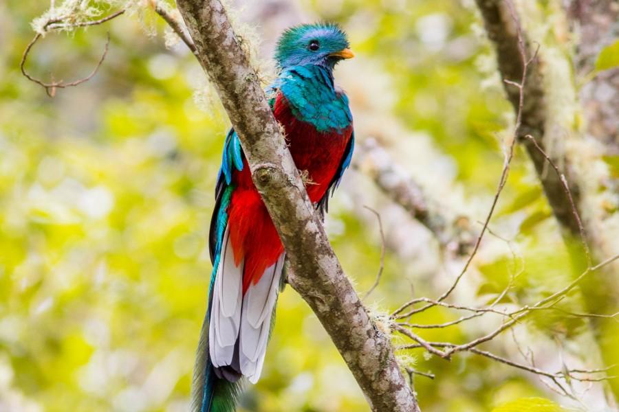 Resplendent Quetzal Beauty