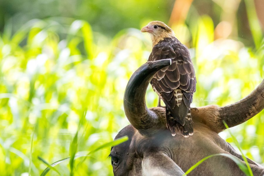 Yellow-Headed Caracara on a Cow