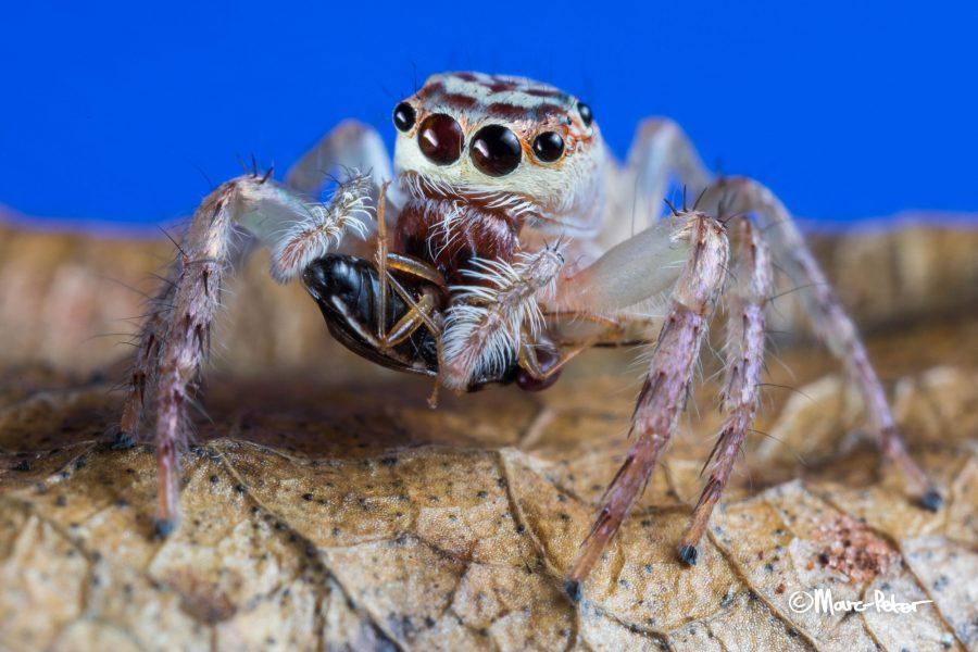 Bug eating Cytaea plumeiventris