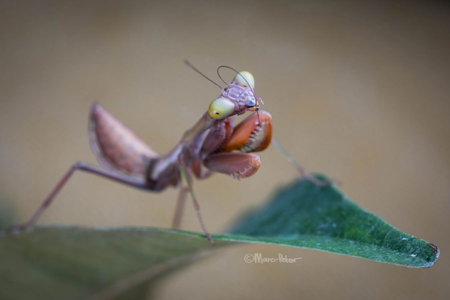 Pink Lobster Claw Praying Mantis