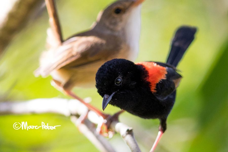 Red-Backed Pair
