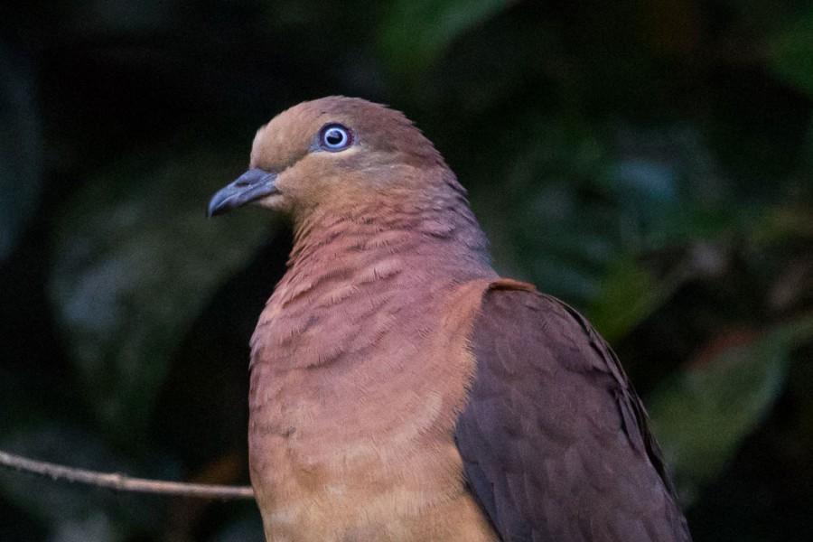 Brown Cuckoo