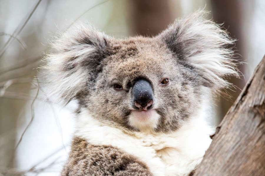 This is Koala