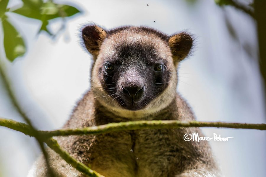 KoalaKangaroo
