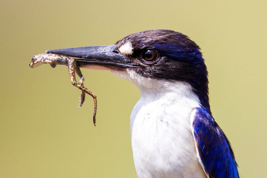 Forest Kingfisher with Frog